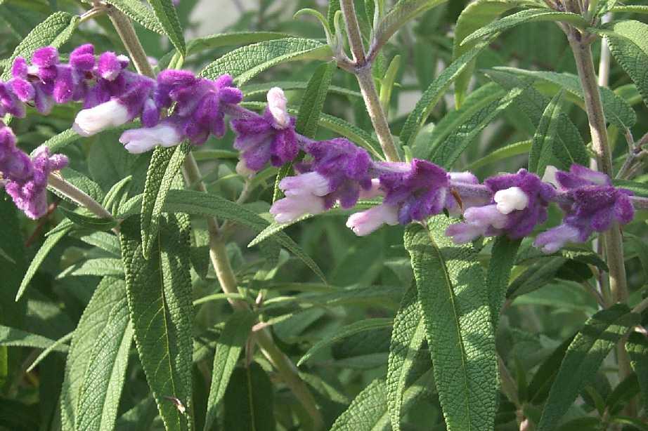 Purple Fuzzy Herb Soso